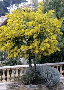 Www Provence Outillage Fr : quand planter un mimosa ~ Dailycaller-alerts.com Idées de Décoration