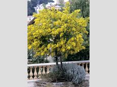 mimosa planter et tailler ooreka