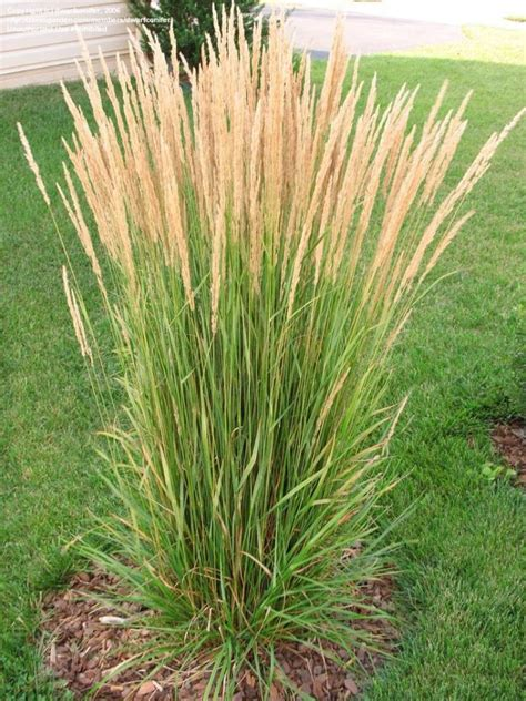 decorative grass 25 best ideas about ornamental grasses on pinterest landscape grasses ornamental grass