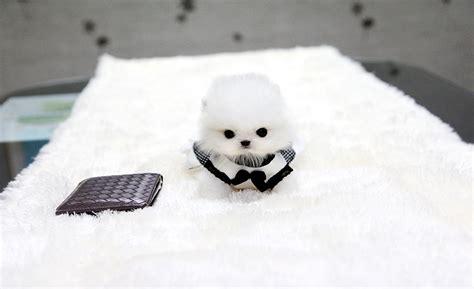 teacup puppy