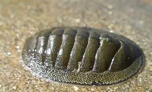 Chiton sp. | Life List: Invertebrates | Pinterest