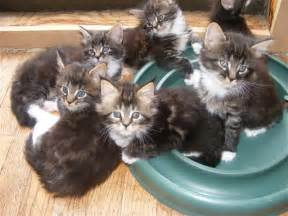 maine coon cat breeders kitty cats in my maine coon a domestic cat bobcat