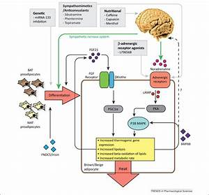 Pharmacological Strategies For Targeting Bat Thermogenesis