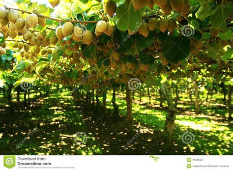 xl cuisine arbre de kiwi photo stock image 9165650
