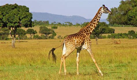 girafe cuisine giraffe facts sounds diet habitat information