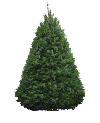 douglas fir christmas tree care douglas fir trees your tree shop we deliver and set up seattle eastside area