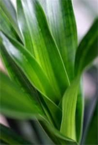 Yucca Palme Garten : palmenpflege und palmen arten ~ Lizthompson.info Haus und Dekorationen