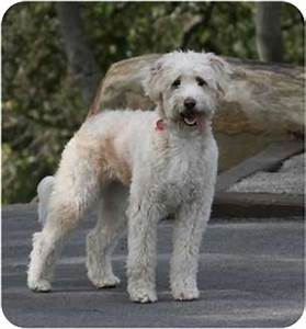 Lucee | Adopted Dog | Goleta, CA | Australian Shepherd ...