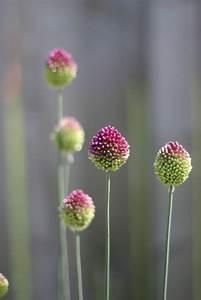 Allium Pflanzen Im Frühjahr : 75 besten zierlauch allium bilder auf pinterest blumen garten und allium sphaerocephalon ~ Yasmunasinghe.com Haus und Dekorationen