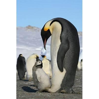 Emperor Penguin Quotes. QuotesGram