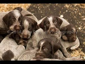German Wirehaired Pointer Puppies- READY NOW!   York ...