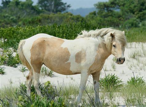 chincoteague pony wikipedia