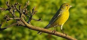 Pájaros Canarios :: Imágenes y fotos