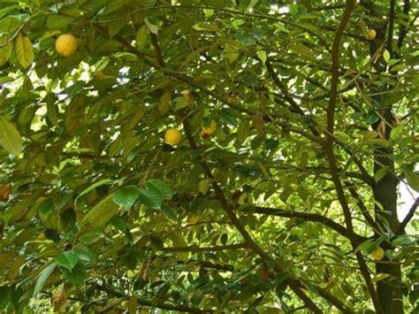 jeux de cuisine 2015 le muscadier l 39 arbre qui donne la noix de muscade