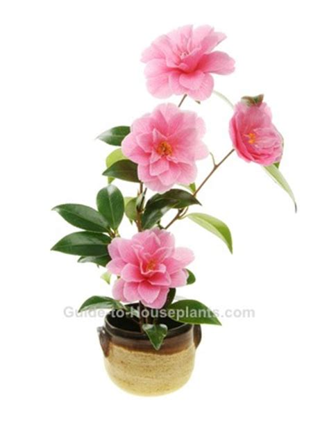 caring for camellias in pots growing camellias indoors camellia plant care camellia japonica