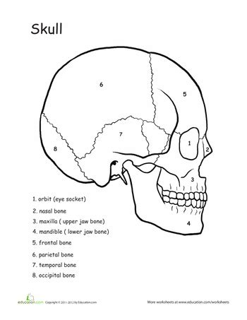 awesome anatomy skull science anatomy worksheets and