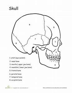 Awesome Anatomy: Skull Science   Anatomy, Worksheets and ...