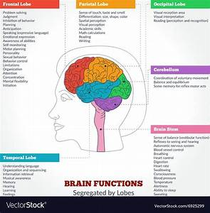 Human Brain Anatomy And Functions Vector Image On In 2020