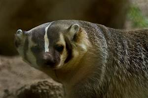 American Badger | Wildlife Images Rehabilitation and ...