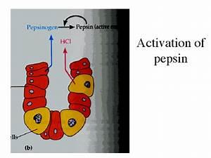 Activation Of Pepsin