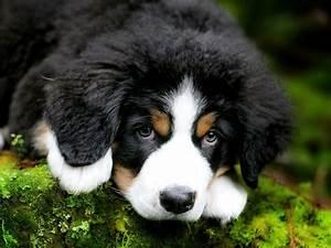 bernese mountain dog bernese mountain dog