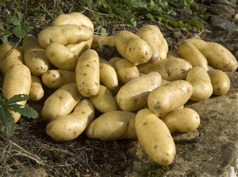 pomme de terre en chambre pommes de terre découvrez 5 variétés