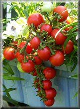 la culture des tomates en pots