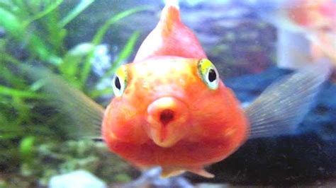 blood parrot fish blood parrot fish tank cichlid youtube