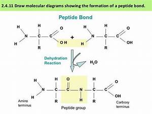 Ib Biology 2 4  U0026 7 3 Slides  Proteins