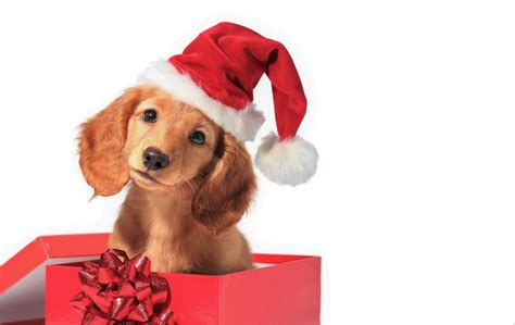 Cute Puppy In T Box Hd Wallpaper Background Image