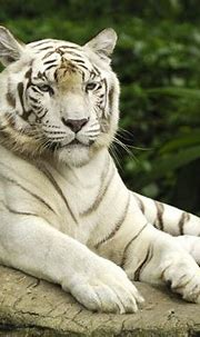 White Tiger, Singapore Wallpapers   HD Wallpapers   ID #1000