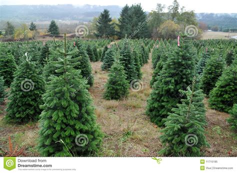 christmas tree farm royalty free stock photo image 11715185