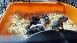 Husky Zu Verkaufen : husky farbratten 14 kleine rattenbabys zu verkaufen ratten ~ Orissabook.com Haus und Dekorationen