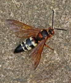 Male Cicada Killer Wasp