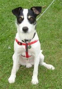 Border Jack Dog Breed Information and Pictures