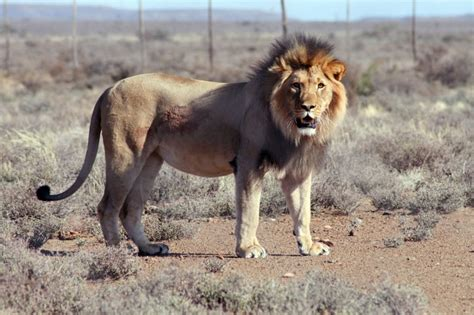 south african lion faces death  escaping game park