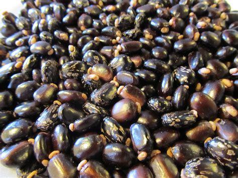 local firm  lure diaspora dollars  castor bean production agri news zimbabwe