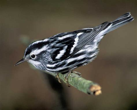 nc mountain birds black and white warbler