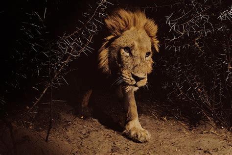 intimate portraits  lions