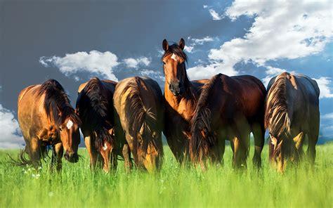 horses grazing photo canvas print brisbane australia
