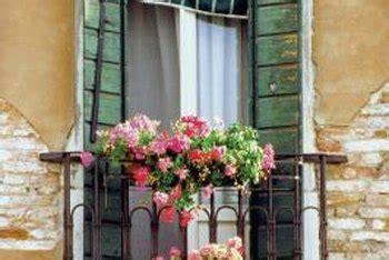 plant geraniums  window boxes home guides sf gate