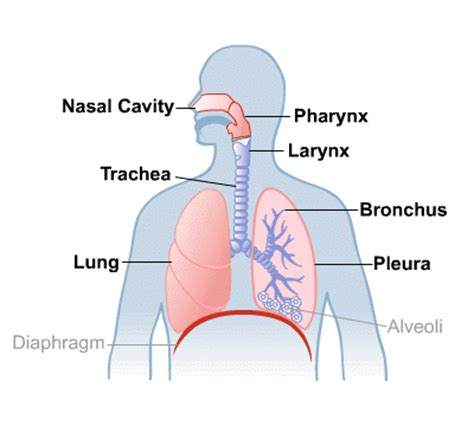 Nasal Airflow Diagram by Lungs And Breathing Medlineplus