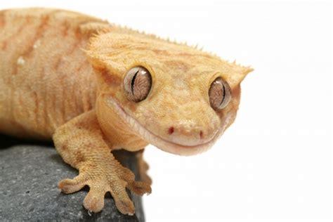 crested gecko lighting crested gecko care sheet
