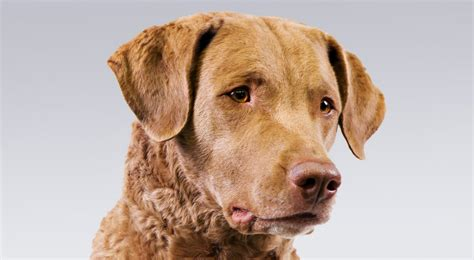Chesapeake Bay Retriever Dog Breed Information American