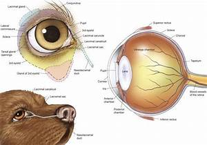 Anatomy Of A Dogs Eye Ed79a0172cea6d61ed91bdca6a2a38a4