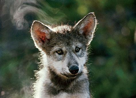 National Geographic Wolves