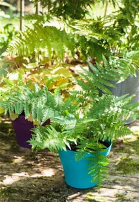 plantation des foug 232 res en pot