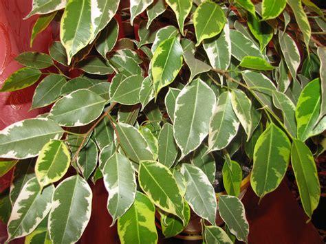 ficus benjamina benjamin piante pianta foglie plants beniamino care plant perde guide tree interno leaves golden come malattie consigli cura