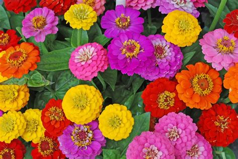 zinnia flowers   grow  care  zinnia plants