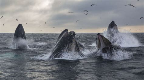fossilized barnacles reveal whales   migrating